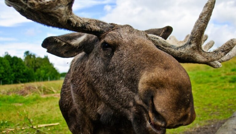 Rīgā iemaldījies alnis apbedīts dzīvnieku kapsētā Babītes pagastā