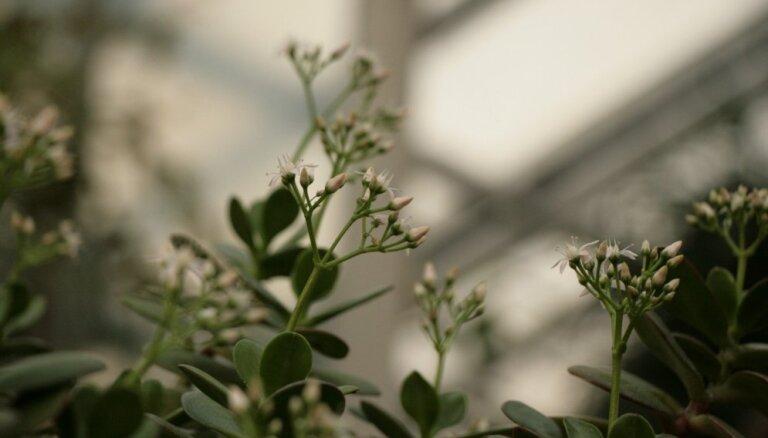 Foto: LU Botāniskajā dārzā bagātīgi uzziedējis naudas koks