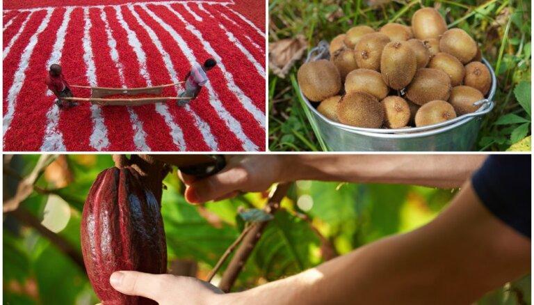 Foto: Sulīgās hurmas, čili un kivi – kā ražu novāc citviet pasaulē