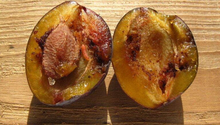 Plūmēs tārpi: kā ierobežot vai iznīdēt augļu grauzējus