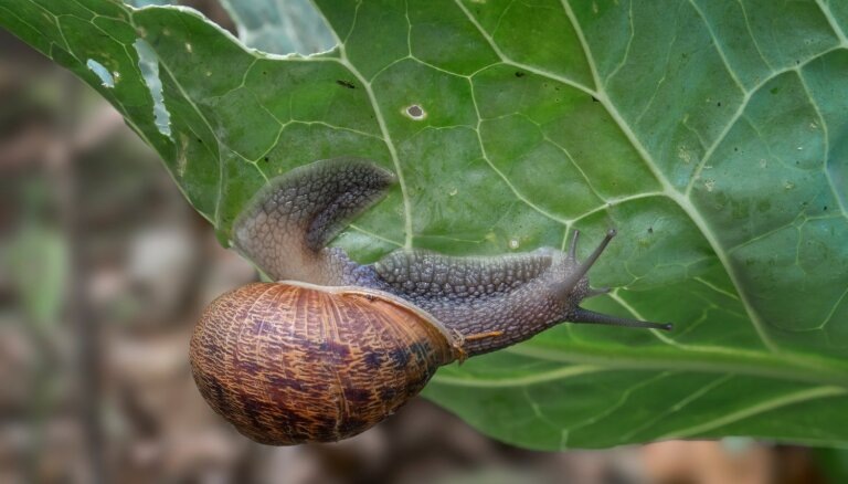 Dārza kari: efektīvas metodes gliemežu apkarošanai
