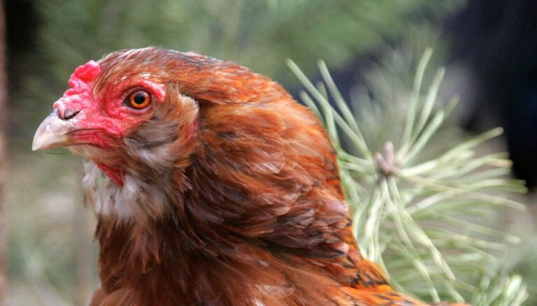 Gulbenē no šķūņa nozog septiņas vistas