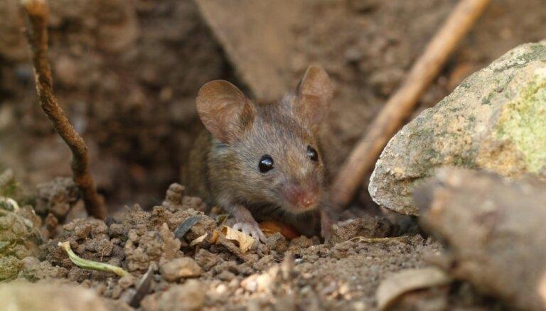 Video: Neparasta metode cīņā ar pelēm dārzā