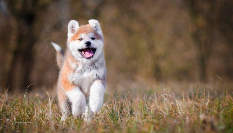 Draiskulīgi un dzīvespriecīgi: trīs Japānas suņu šķirnes, kuras iecienījuši arī latvieši