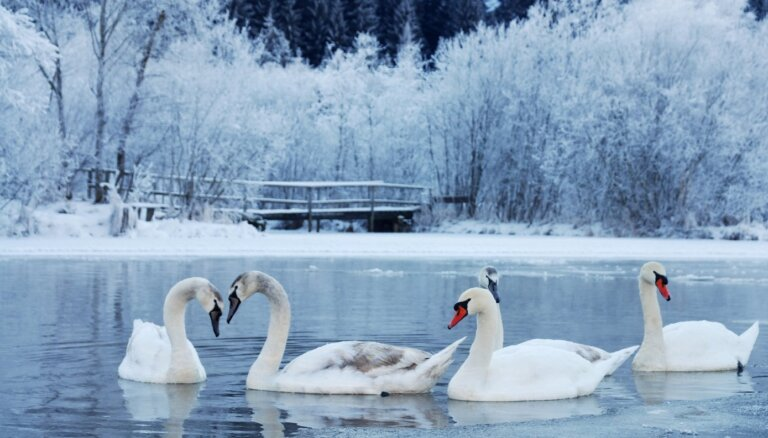 Gulbju iespējas izdzīvot ziemā: satraukumam nav pamata, bet piebarot nevajadzētu