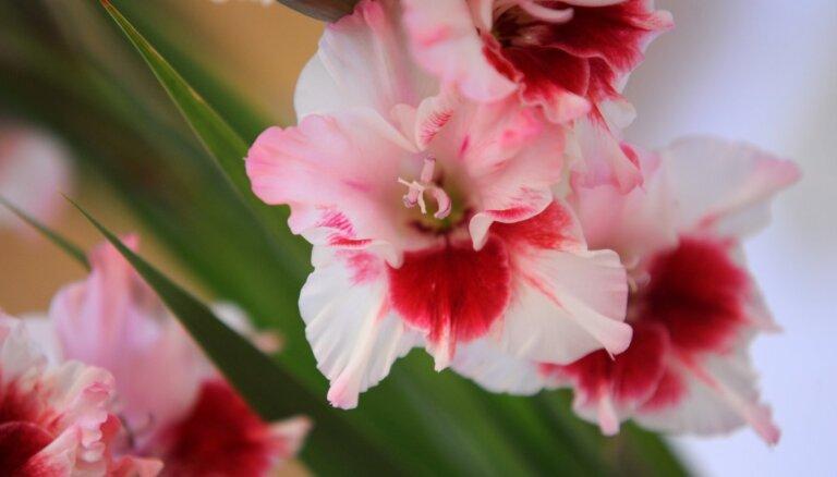 Valmieras muzeja Garšaugu dārzā 26. augustā atklās gladiolu izstādi