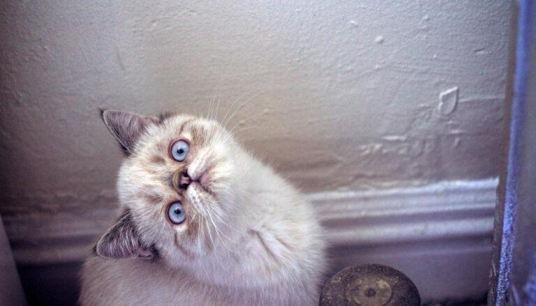 Экзотическая кошка (экзот)