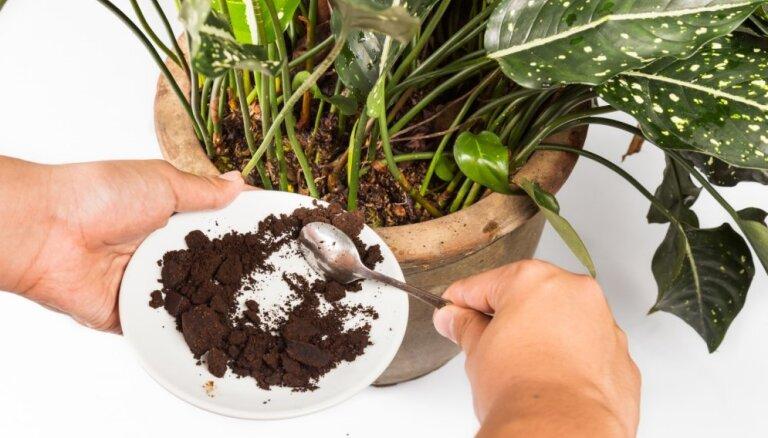Pētījums: kafijas biezumi kavē nezāļu attīstību un atbaida kaitēkļus