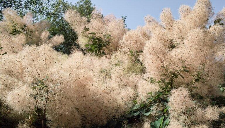 Gaisīgā dārza rota – parūkkoks. Skaistākās šķirnes un padomi audzēšanā