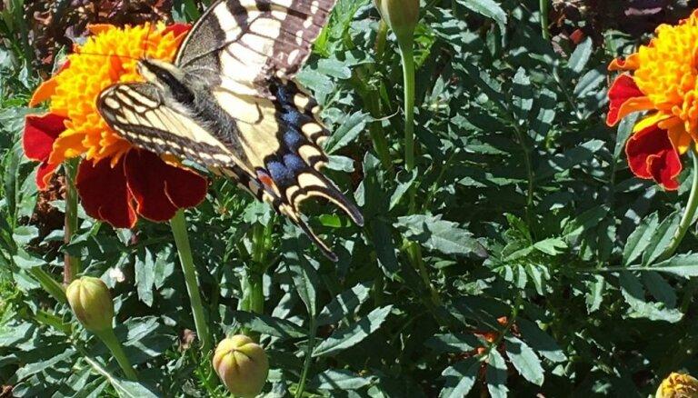 Foto: Čemurziežu dižtauriņš nolaižas piemājas dārzā Līvbērzē