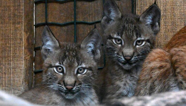 Demija un Rems – trīs mēnešu vecie zoodārza lūsēni tikuši pie vārdiem