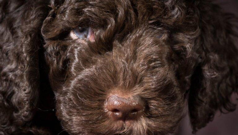 Cirtainais barbē – suns, par kura ievešanu baznīcā apvainoja karaļa sievu