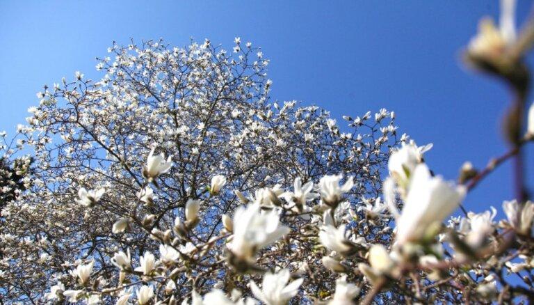 Pārdaugavā krāšņi plaukst magnolijas