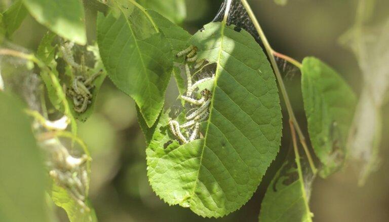 Ievu kokus apsēduši kāpuri – kā atbrīvoties no tīklkodēm