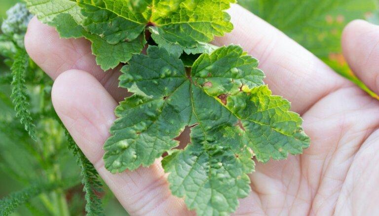 Jāņogām sākušas čokuroties lapas: kurš apskādē augu