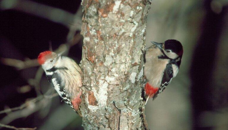 Nedēļas nogalē Ķemeros notiks Starptautisko putnu vērošanas dienu pasākumi