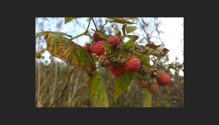 Sārtojas zemenes, avenes, zied cidonijas – parādi 'Delfi Aculieciniekam' dabas untumus!
