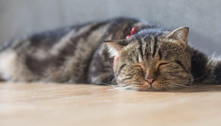 Kaķu mēris: kad dzīvnieka izdzīvošanas iespējas ir 50 pret 50