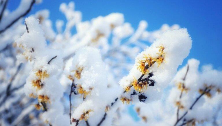 Ziedi sniegotās kupenās: LU Botāniskajā dārzā uzziedējusi burvjulazda