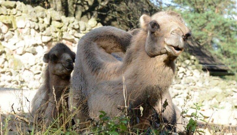 Rīgas Zooloģiskajā dārzā atklās atjaunoto kamieļmāju