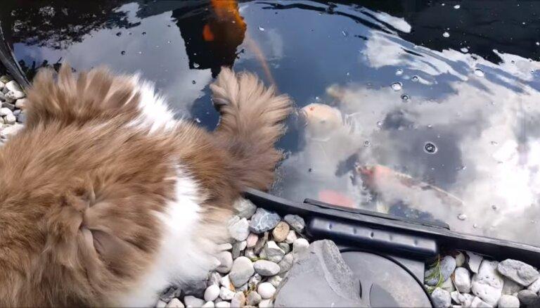 Amizants video: Runcis atvēsina asti dīķī, kur peld zivis