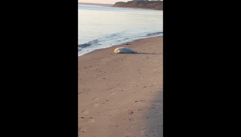 Video: Mīlīgs ronis dodas jūrā Ragaciema pludmalē