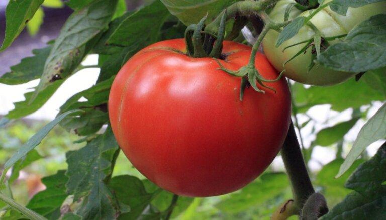 Pašam savi tomāti: kad ir piemērotākais laiks sēt dēstus