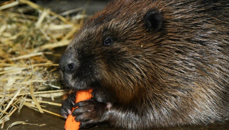 Rīgas zoo bebrs Čāpiņš dodas 'precībās' uz Nīderlandi