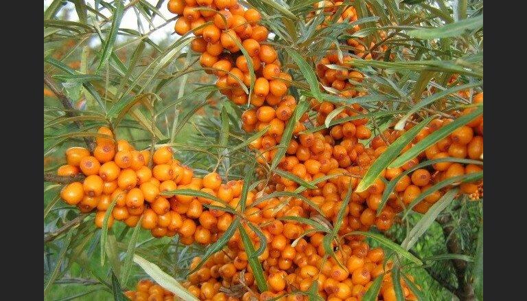 Zelta ogu plantācijas – stāsts par smiltsērkšķu audzētājiem Tukuma novadā