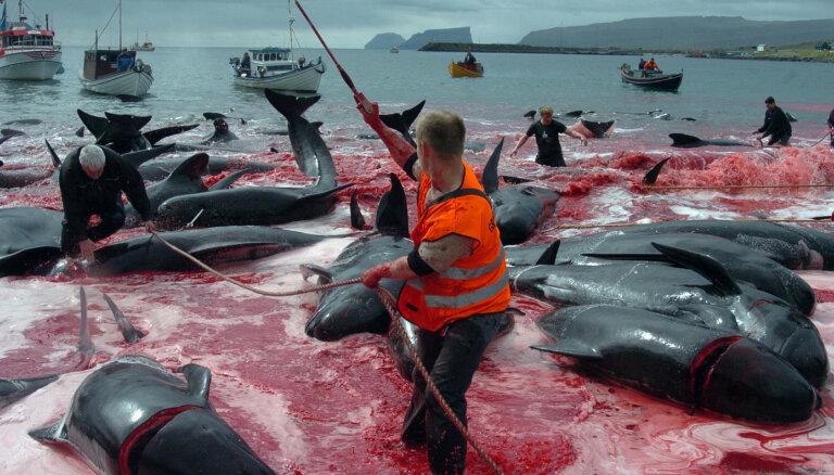 На Фарерских островах убили 1480 дельфинов. Китобои говорят, что это было ошибкой