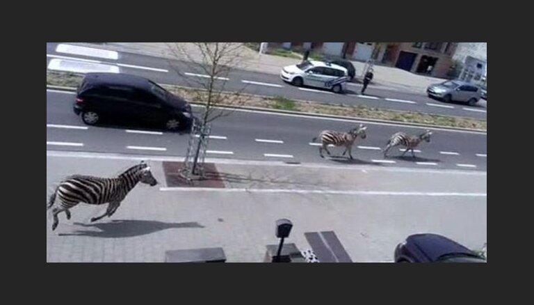 Zebras izraisījušas apjukumu Briseles ielās