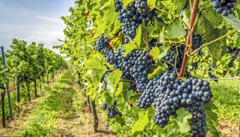 ФОТО. Самый хмельной туристический маршрут Германии - германский винный путь в Пфальце
