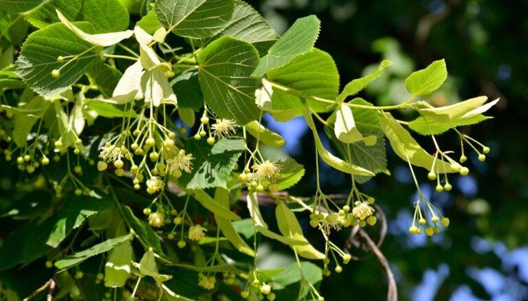 Liepziedu laiks ir klāt. Kā šos ziedus izmantot veselības, skaistuma un miega uzlabošanai?
