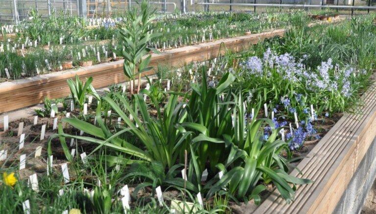 Botāniskā dārza slēgtā zona: ieskats savvaļas sīpolaugu zālē