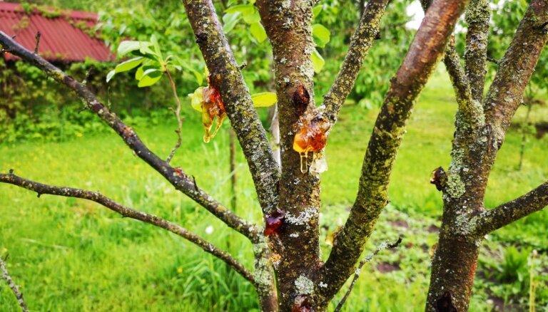 Plūme sākusi sveķoties: ko darīt ar augļu koku