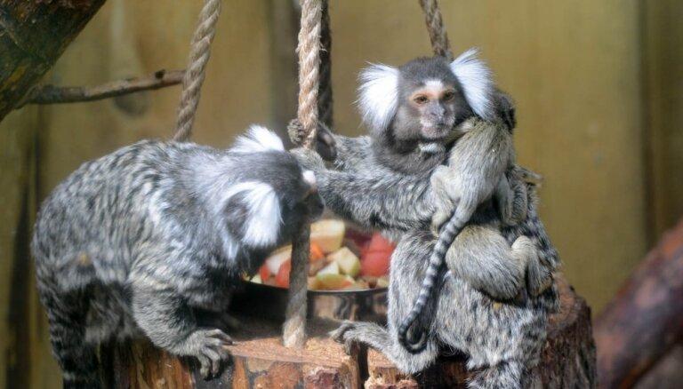 Sācies Ugunīgā Pērtiķa gads. Kur Latvijā var satikt un apskatīt šos dzīvniekus?