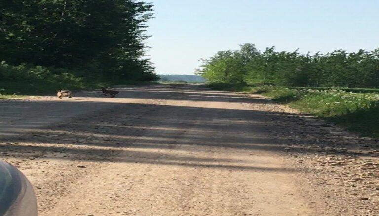 ВИДЕО: На проселочной дороге резвятся зайцы
