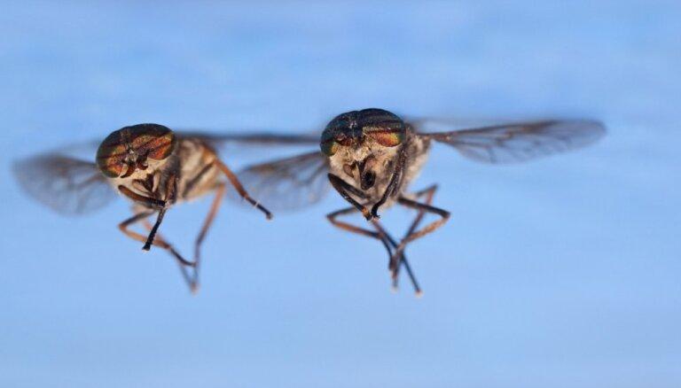 Vai dunduru invāzija? – atpūtnieks neizpratnē, kur palikuši odi