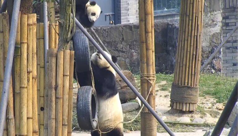 Video: Pandu māmiņa palīdz pārāk augstu uzkāpušajam mazulim