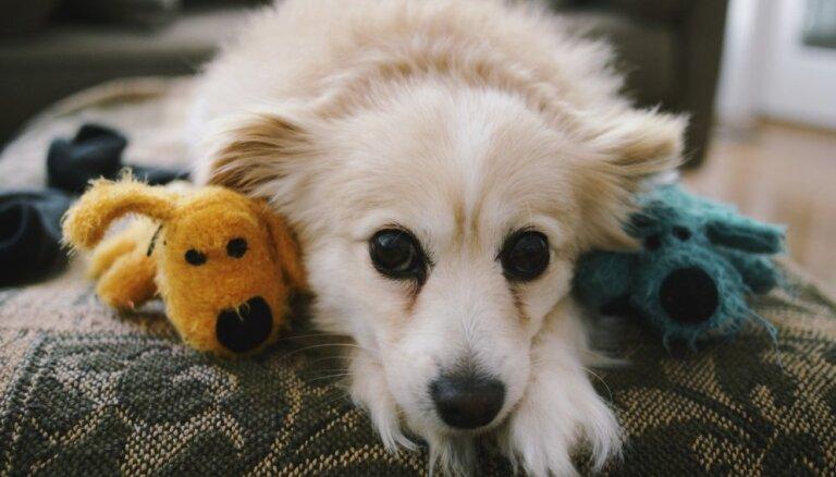 Plīša lācis, gumijas bumba vai plastmasas kauliņš? Speciālista ieteikumi suņa mantas izvēlei