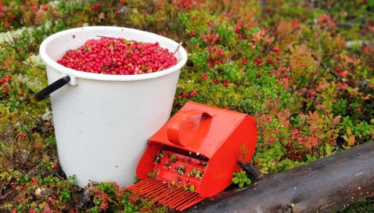 В Латвии сбор ягод и грибов стал бизнесом: мимо СГД проходит до 5 млн евро