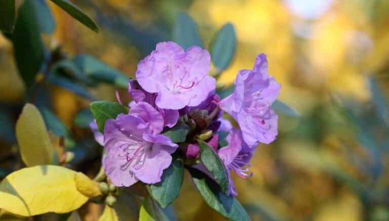 Rododendri zied pa otram lāgam: padomi, kā augu sagatavot ziemai