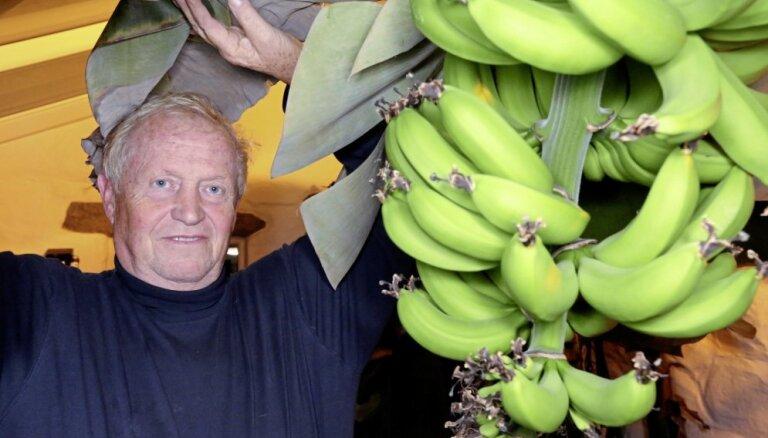 Foto: Lielbritānijā eksotisko augu entuziasti savās mājās izaudzējuši banānus un ananasus