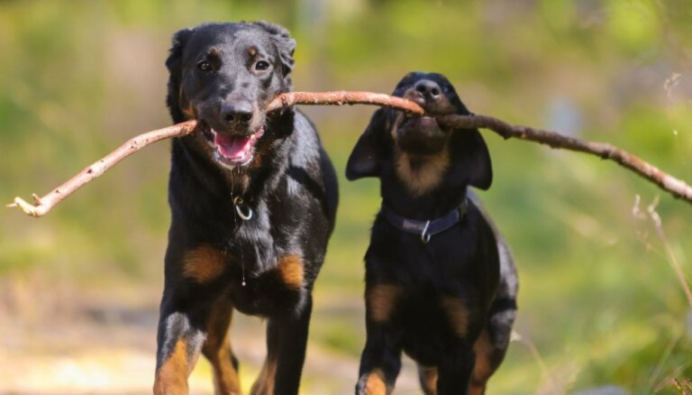 Suns, kuru franču armija izmantoja pasaules karos – čaklais boserons