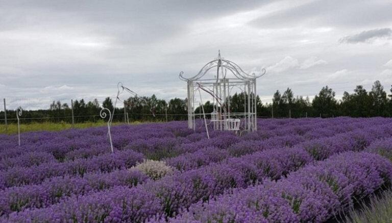 ФОТО. Четыре места в Латвии, где вы можете полюбоваться на прекрасные лавандовые поля
