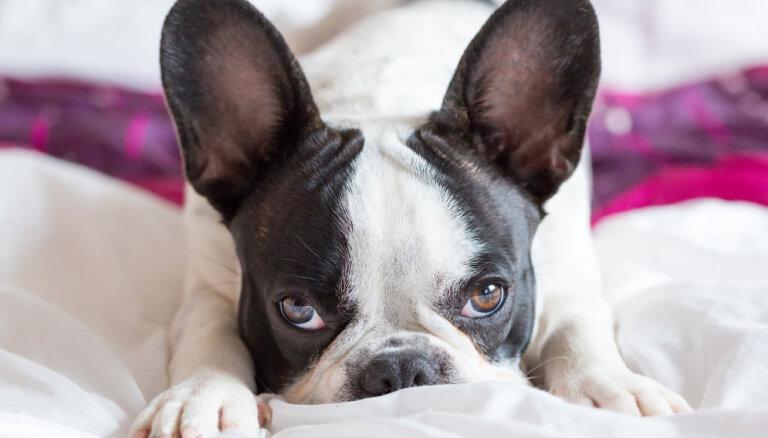 Ko nozīmē šķirnes suns? Mini ceļvedis šķirņu piedāvājumā