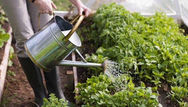 Kļūdas dārzeņu stādīšanā un kopšanā, kuras pieļauj pat pieredzējuši dārznieki