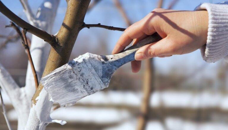 Augļu dārza kaļķošana – kāpēc tas vajadzīgs un kā to pareizi darīt