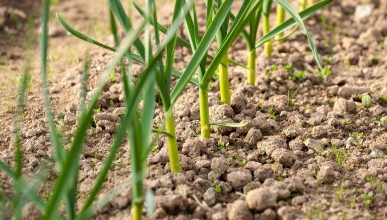 Dārzā uzglūn sausums. Eksperta ieteikumi sēšanas un laistīšanas darbiem pavasarī