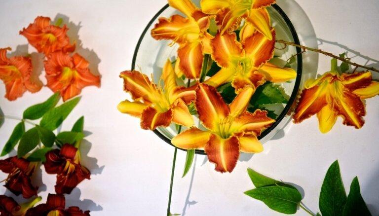 Foto: Skaistās inteliģentu puķes - dienlilijas Dabas muzejā
